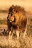 sårad lion Arkivfoto
