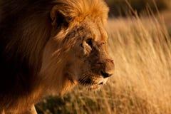 sårad lion Royaltyfria Foton