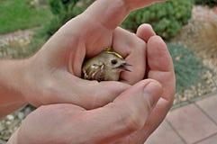 Sårad mest goldcrest i en mans händer Royaltyfria Foton