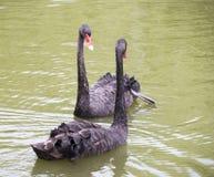 Sårad svart svan med en vän Royaltyfri Fotografi