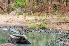 Sårad vattenbuffel i en liten pöl och Komodo drake Arkivbild