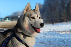Sårade Huskies Royaltyfri Foto