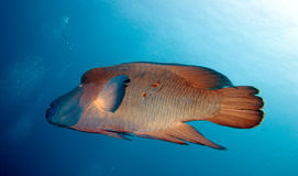 Sårade napoleonfish Royaltyfria Bilder
