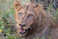 Sårat lejon med nya snitt från kamp fotografering för bildbyråer