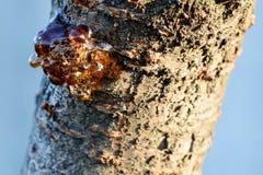Sève d'arbre de Cherry Trunk en soleil images stock