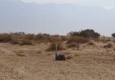 Séance africaine femelle d'autruche Images libres de droits