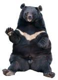 Séance asiatique d'ours noir images stock