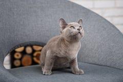 Séance birmanne de chaton gris sur une chaise grise de tissu dans l'intérieur contre les murs de briques blancs images stock