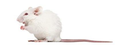 Séance blanche de souris albinos, musculus de Mus photos stock