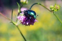 Séance bleu-vert de scarabée sur une fleur dans l'herbe Photo stock