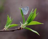 Séance bleue de mite Photographie stock
