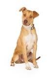 Séance curieuse de chien de race de mélange de bull-terrier du Staffordshire Images stock