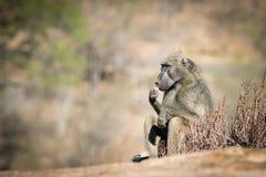 Séance de babouin Photographie stock libre de droits