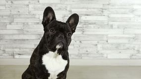Séance de bouledogue français de race de chien banque de vidéos