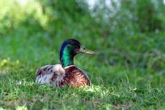 séance de canard Photos stock