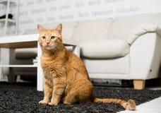 Séance de chat de gingembre Images libres de droits