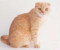 Séance de chat de pli d'écossais de pêche Image stock