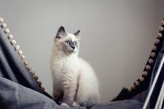 Séance de chat de Ragdoll photo stock