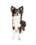 Séance de chien de race mélangée par chiwawa attentif Photographie stock libre de droits