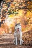 Séance de chien de traîneau sibérien Images stock