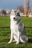 Séance de chien de traîneau sibérien Photo stock