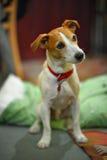 Séance de chien terrier de Jack Russell de pasteur images libres de droits
