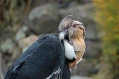 Séance de condor andin Photos stock