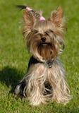 Séance de crabot de chien terrier de Yorkshire Images stock