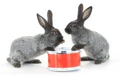 Séance de deux lapins photo libre de droits