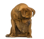Séance de Dogue de Bordeaux, regardant vers le bas, d'isolement photos stock