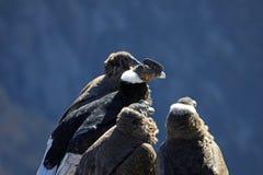 Séance de famille de condor andin Image stock