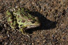 Séance de grenouille de léopard Images libres de droits