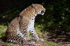 Séance de léopard Image stock