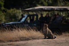 Séance de léopard observée par des photographes dans le camion image libre de droits