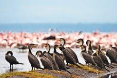 séance de lac grand de cormoran d'oiseaux Photographie stock