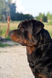 Séance de Rottweiler de crabot Image stock