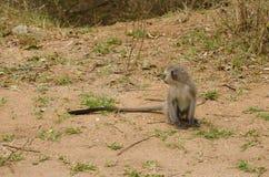 Séance de singe de Vervet photo libre de droits