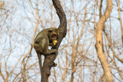 Séance de singe de Yong Photo stock