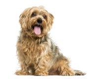 Séance de Yorkshire Terrier, haletant, 5 années photographie stock