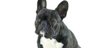 Séance et regard de chien de bouledogue français banque de vidéos