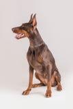 Séance femelle de chien de dobermann de Brown Image libre de droits