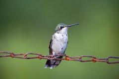 Séance femelle de colibri Photographie stock libre de droits