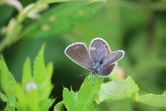 Séance femelle de papillon bleu commun de Polyommatus Icare sur une feuille d'usine de pré Image libre de droits