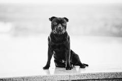 Séance fière menaçante de chien terrier de crabot photo stock