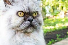 Séance grise de chat et regard attentif sur quelque chose photographie stock libre de droits
