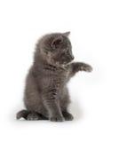Séance grise mignonne de chaton Photo stock