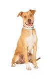Séance heureuse de chien de race de mélange de bull-terrier du Staffordshire Image libre de droits