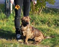 Séance heureuse de sourire de chien, avec elle tout près le propriétaire tenant une laisse, feuille d'automne disponible, soleil Image libre de droits