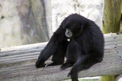 Séance noire de singe d'hurleur image stock