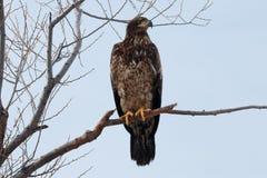Séance non mûre d'aigle chauve sur une branche Photo libre de droits
